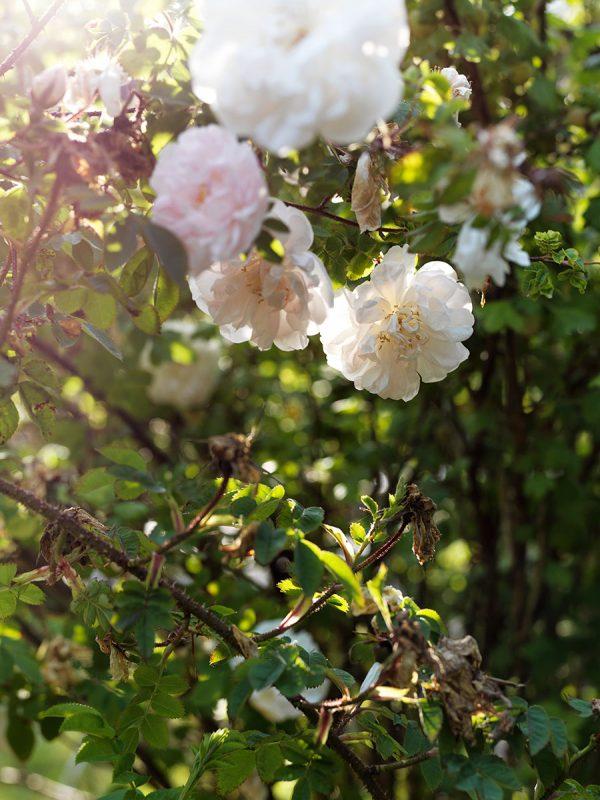 Rosengarden_flowers_blommor_Foto_Petra_Bindel